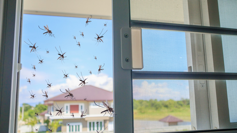 Mosquitoes flying into a house